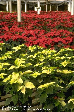 red and white poinsettias in greenhouse