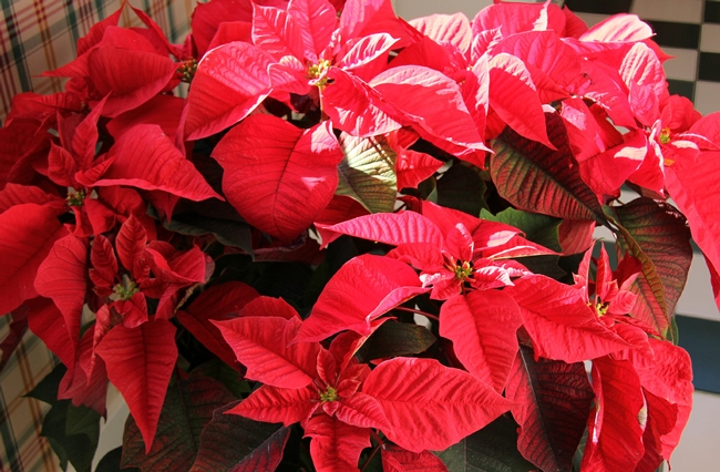 More About Poinsettias Under The Solano Sun Anr Blogs