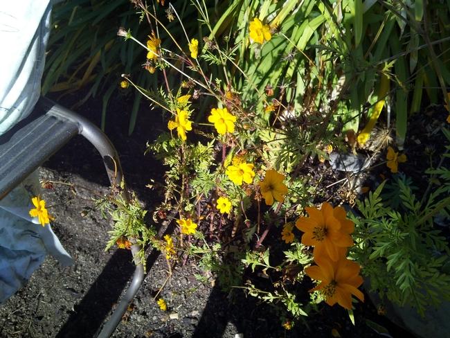 Orange coreopsis. (photo by Trisha Rose)
