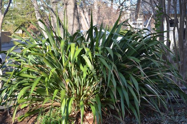 Flax plant.