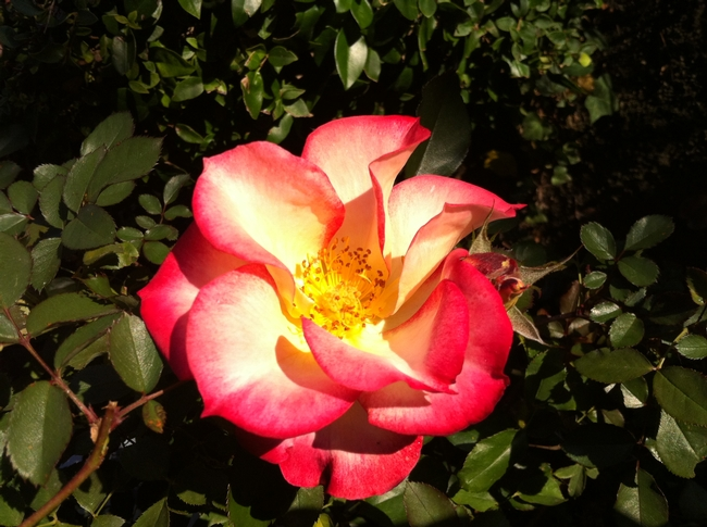 red and cream rose called Betty Boop
