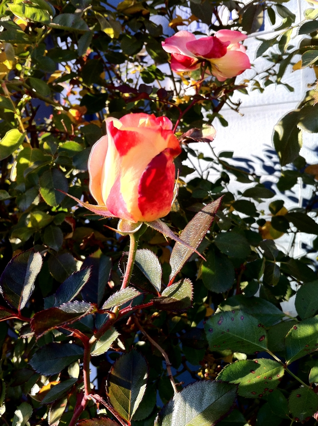 Bud of Betty Boop rose.