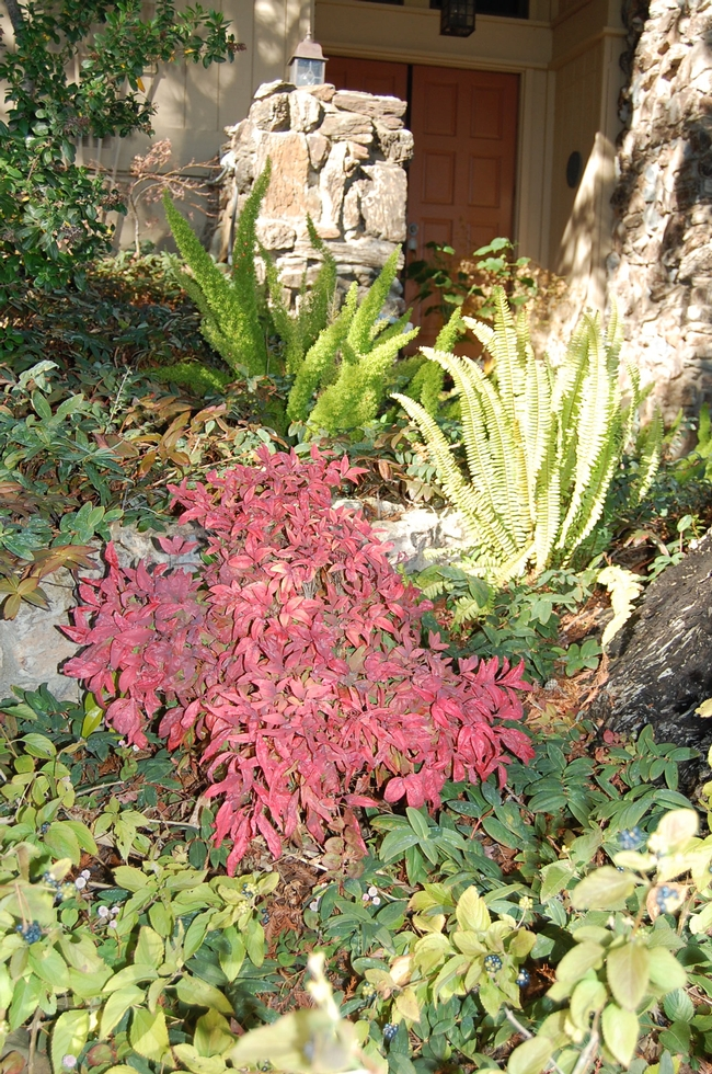 Nandina domestica 'Firepower' provides a welcome spot of color to a Vacaville front yard. (photos by Kathy Thomas-Rico)