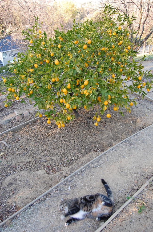 A Meyer lemon tree shows off brightly colored fruit in the depths of winter.