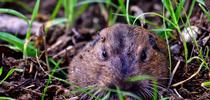 Pocket Gopher: Ag Natural Photography by Ed Williams for Urban Agriculture Blog