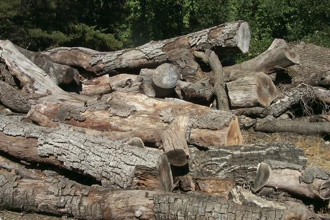 Tanoak logs