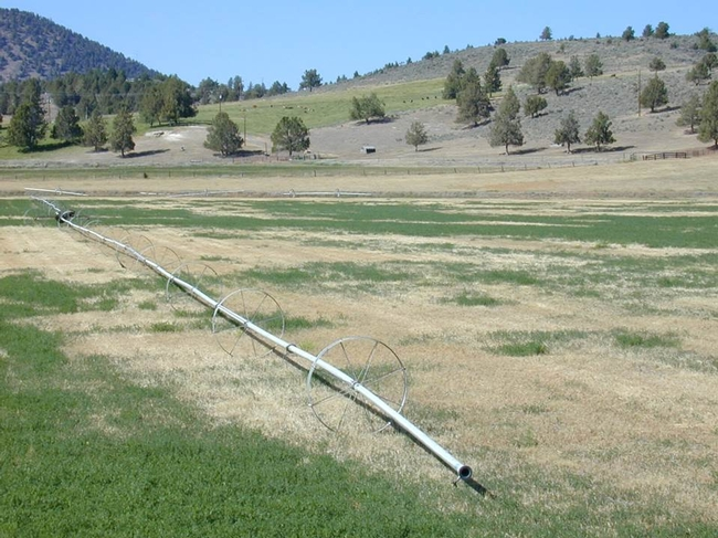 Photo: Impact of no irrigation on alfalfa during summertime. However, due to alfalfa's resilience to drought, yield will recover once the field receives water the following winter.