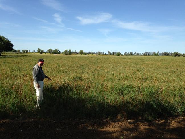 BYD virus in oat hay