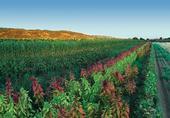 Mezclar cultivos ayuda a promover la biodiversidad, como este cultivo de amaranto, girasoles y sorgo en la granja Fully Belly, de Guinda, California. Fotografía por: Paul Kirchner Studios