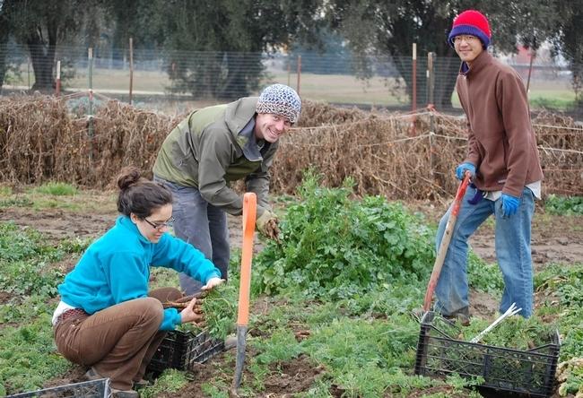 Sara Kosoff, Anthoy Waldrop y Eric Lynn cosechan zanahorias en la Granja de Estudiantes de UC Davis.