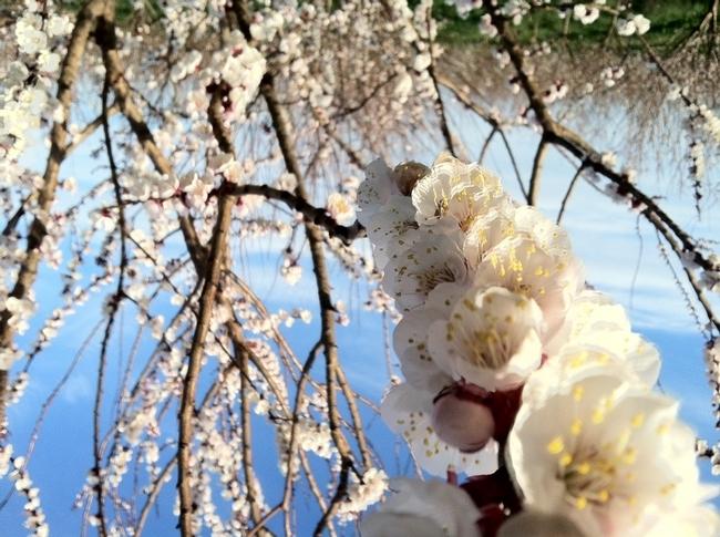 La flor del chabacano. (Fotografía por: The Cloverleaf)