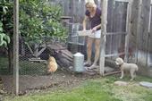 Las gallinas son buenas mascotas