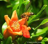 Una abeja se acerca a una flor de granada. (Fotografía por Kathy Keatley Garvey)