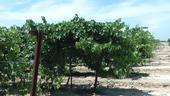 Uvas de vino son cultivadas en el Centro de Investigación Agrícola y Extensión UC Kearney.