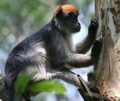Un mono colobo rojo come corteza de un árbol de eucalipto, una especie de estrogénico no nativo que fue plantado como fuente de madera combustible en el Parque Nacional Kibale. Fotografía por Kearney Wasserman.