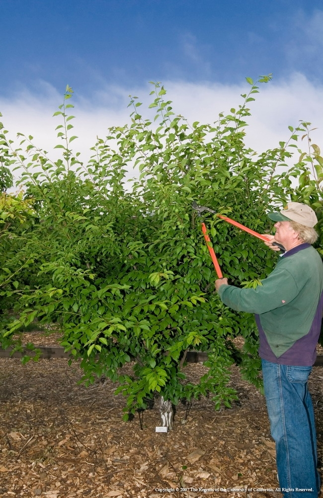 Phil Damewood, ex jardinero maestro del condado de Sacramento, poda un arbusto de frutas.