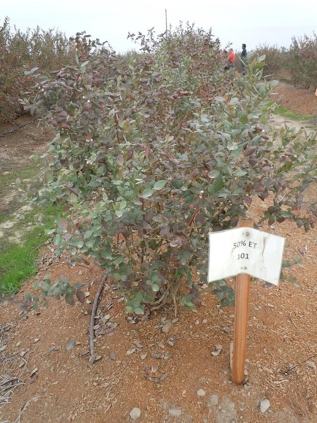 Un arbusto de bayas recibe un 50 por ciento de evapotranspiración de referencia.