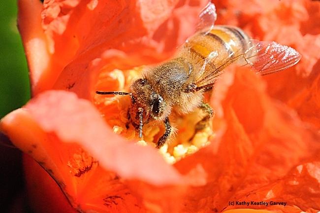 Abeja de miel rebuscando en una flor de granada. El resultado es miel de granada. (fotos de Kathy Keatley Garvey)