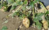 Plantas de fresa dañadas por el granizo
