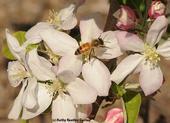 Una abeja de miel poliniza una flor de manzano. (Fotografía por Kathy Keatley Garvey).