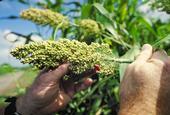 El grano de sorgo se puede moler para hacer harina sin gluten. Foto - Wikimedia Commons