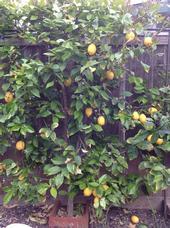 El árbol de limones en el patio trasero crece en una espaldera.