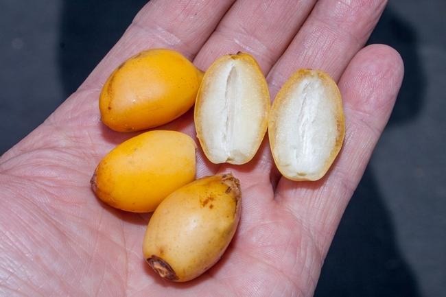 """Frutos en su etapa """"khalal"""", la variedad """"Zahidi, son muy buenos para comer pues son sabrosos, dulce y  crujientes. (D. R. Hodel)"""