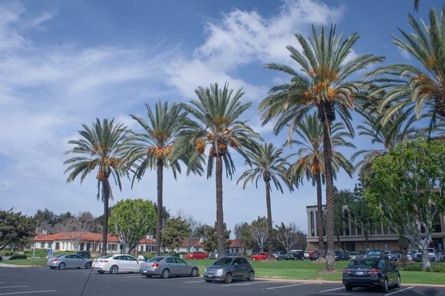 Miles de palmeras datileras maduras han sido trasplantadas del Valle de Coachella a la costa del sur de California. (D. R. Hodel).
