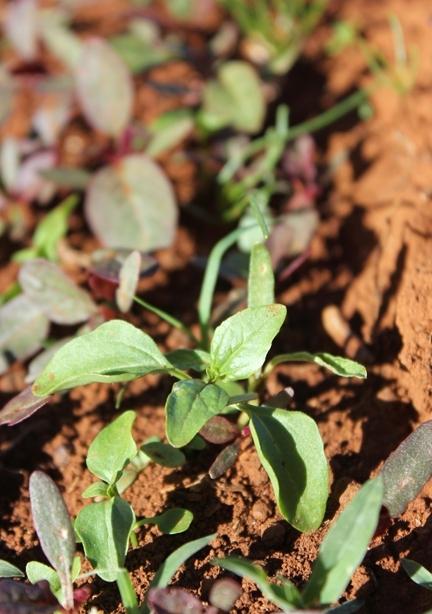 Una planta joven de amaranto en el campo de cultivo: ¿sacarla o comerla?