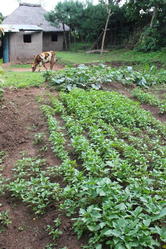La belladona negra y otras verduras son cultivadas en una granja en el oeste de Kenia. (Fotografía del Laboratorio de Innovación Hortícola por Brenda Dawson)