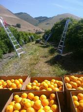 Naranjas del condado de San Luis Obispo.