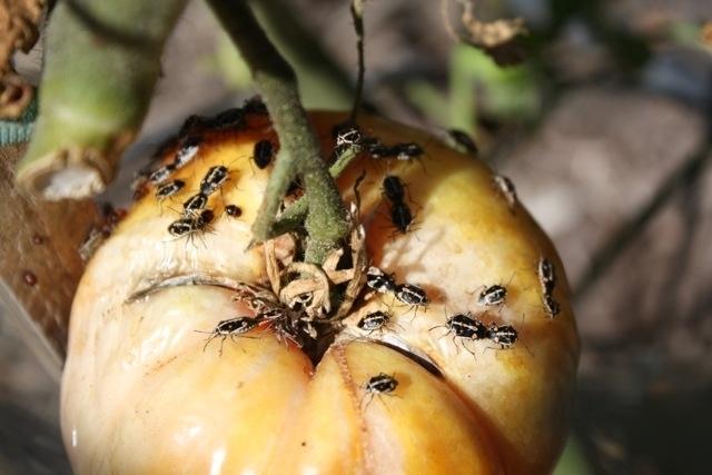 Chinches bagrada alimentándose de tomates. (Fotografía por: Jennifer Evagelista, San Luis Obispo).