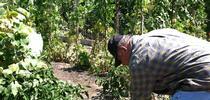 Un residente del condado de Santa Clara trabaja en uno de los huertos comunitarios. for Blog de Alimentos Blog