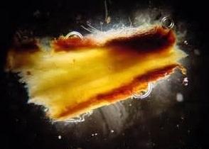 Un ejemplo de fuego bacteriano en una manzana.