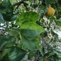 Hoja en un árbol con síntomas de HLB. El laboratorio de bioseguridad ayudará en la batalla contra la enfermedad. (Fotografía: Beth Grafton-Cardwell).