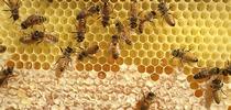 Abejas en el proceso de producir miel. Esta fotografía fue tomada a través de la observación de una colmena. (Fotografía de Kathy Keatley Garvey) for Blog de Alimentos Blog