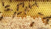 Abejas en el proceso de producir miel. Esta fotografía fue tomada a través de la observación de una colmena. (Fotografía de Kathy Keatley Garvey)