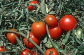 Los investigadores de la UC buscan agricultores de tomates, lechuga, espinacas, zanahorias, rábanos y pepinos.