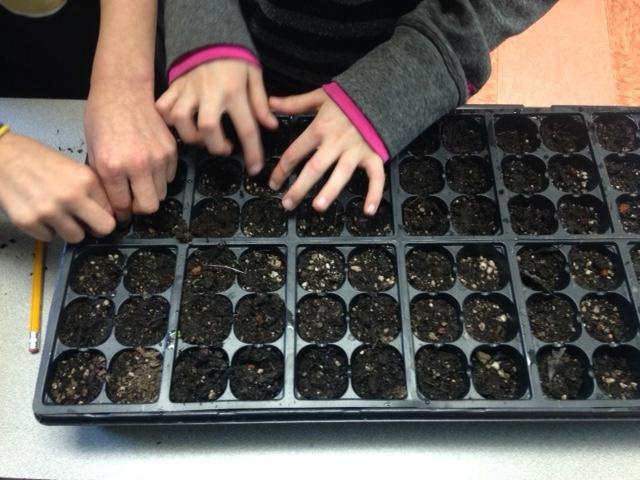 Las plantas de semillero pequeñas requieren de una atención regular en un ambiente protegido para convertirse en plantas saludables. (Crédito de fotografía: Tena Brown, Jardinero Maestro de la UC en los condados de Sutter y Yuba).
