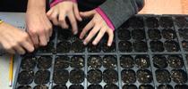 Las plantas de semillero pequeñas requieren de una atención regular en un ambiente protegido para convertirse en plantas saludables. (Crédito de fotografía: Tena Brown, Jardinero Maestro de la UC en los condados de Sutter y Yuba). for Blog de Alimentos Blog