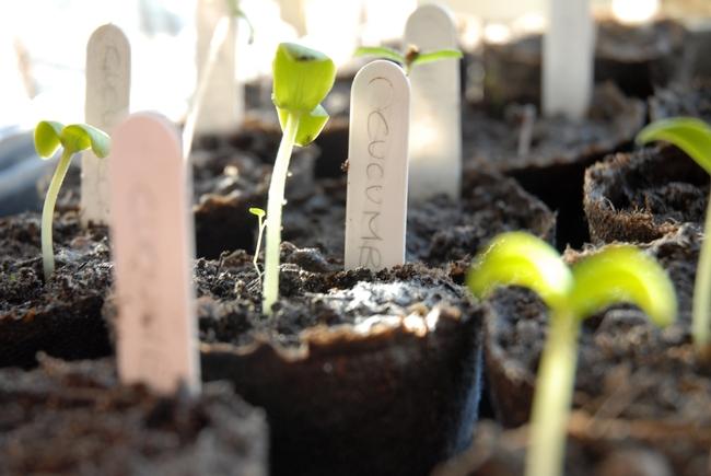 No olvide etiquetar sus plantas de semillero, para que pueda planear un espacio apropiado cuando los trasplante. (Crédito de fotografía: Morguefiles.com)