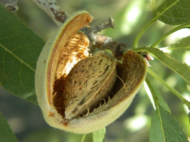 Una almendra emerge de un fruto seco. Fotografía por: Melissa L. Partyka)