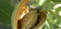 Una almendra emerge de un fruto seco. Fotografía por: Melissa L. Partyka) for Blog de Alimentos Blog