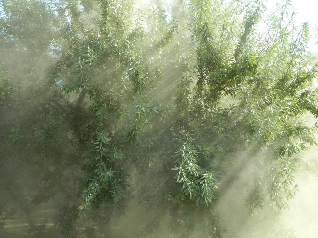 La cosecha de almendras en el Valle Central de California. (Fotografía por: Melissa L. Partyka)