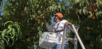 Los duraznos que se cosechan a principios de la temporada cuentan con menos tiempo para crecer, se deben remover frutos para permitir que los que se quedan alcancen un mayor tamaño. for Blog de Alimentos Blog