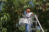 Los duraznos que se cosechan a principios de la temporada cuentan con menos tiempo para crecer, se deben remover frutos para permitir que los que se quedan alcancen un mayor tamaño.