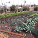 Talleres de la Extensión Cooperativa de la UC en Los Ángeles ayudará a los granjeros urbanos a incrementar su conocimiento sobre regulación, producción, mercadeo y seguridad alimentaria.