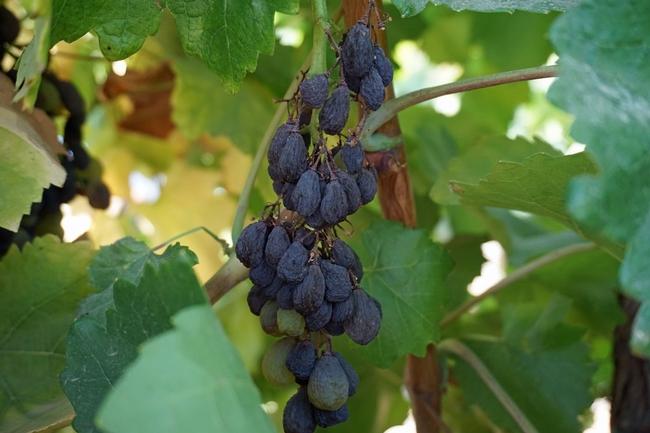 Las uvas Sunpreme se secan por si mismas en el viñedo de Kearney.