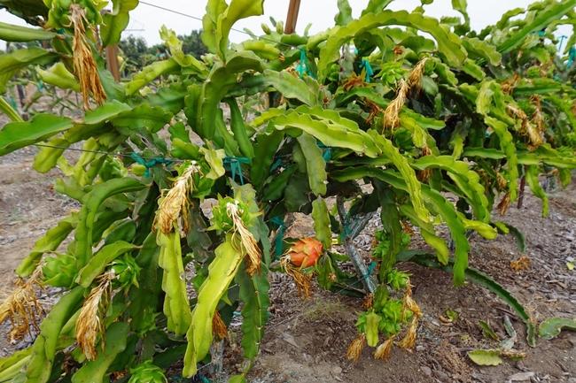 En EUA la pitaya se vende algunas veces como 'fruta dragón' por su exterior espinoso y su pulpa encendida.