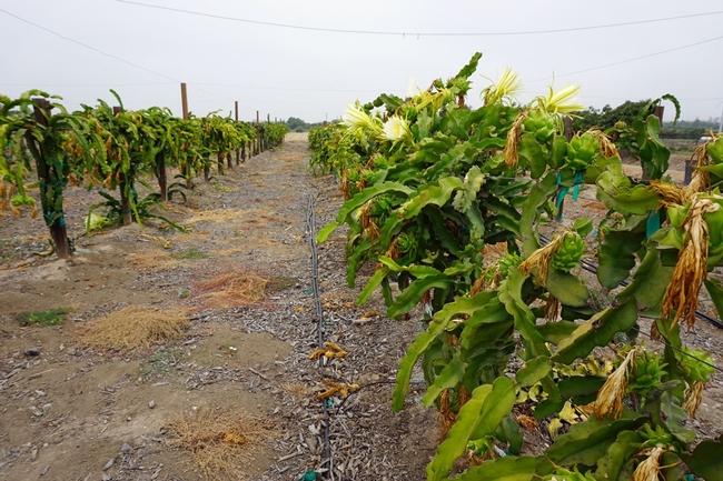 La plantación de pitaya en el Centro de Investigación y Extensión South Coast de la UC, en Irvine.